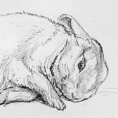Beatrix Potter,  'Pencil study of Peter Rabbit'