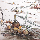 Beatrix Potter, 'Sketch of an onion bed