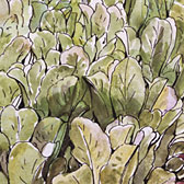 Beatrix Potter, 'Lettuce bed in the garden at Fawe Park'
