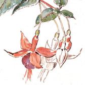 Beatrix Potter, 'Sketch of fuchsia flowers'