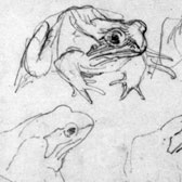 Beatrix Potter, several studies of frogs