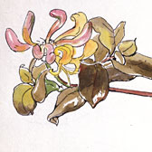 Beatrix Potter (1866-1943), Study of a spray of honeysuckle