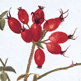 Beatrix Potter (1866–1943), Study of a spray of rose hip