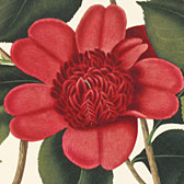 Clara Maria Pope (1768-1838) , 'A monograph on the genus Camellia'