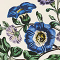 Jane Loudon (1807-1858), 'The Ladies' Flower-Garden of Ornamental Annuals'