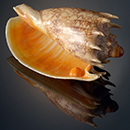 Cymbiola imperialis shell with natural pearl