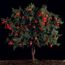 Tal Shochat, 'Pomegranate (Rimon)'