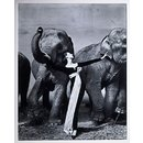 Dovima with the Elephants - evening dress by Dior, Cirque d'Hiver, Paris, August 1955 (Photograph)