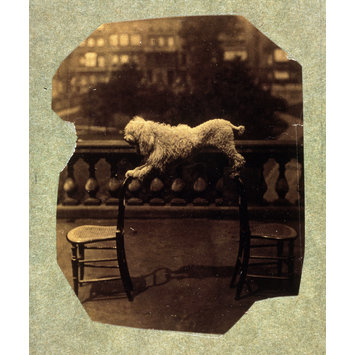 Photograph - Dog balancing on two chairs