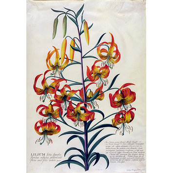 Watercolour - American Turk's-cap lily (Lilium superbum)