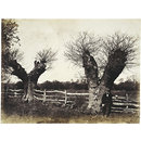 Hedgerow Trees, Clerkenleap, Worcestershire (Photograph)