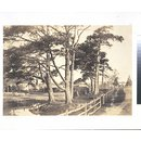 Scotch firs, Hawkhurst (Photograph)