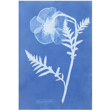 Photograph - Papaver Orientale; Poppy, from Cyanotypes of British and Foreign Flowering Plants and Ferns (1854)