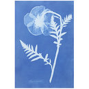 Papaver Orientale; Poppy, from Cyanotypes of British and Foreign Flowering Plants and Ferns (1854) (Photograph)