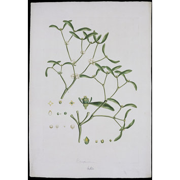 Print - Viscum album L.; Common Mistletoe; Illustration of the Sexual System of Linnaeus