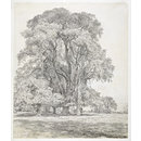 Elm trees in Old Hall Park, East Bergholt (Drawing)