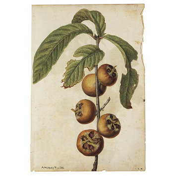 Drawing - Ficus carica L.; Fig; Mespilus germanica L.; Medlar