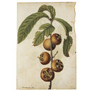 Ficus carica L.; Fig; Mespilus germanica L.; Medlar (Drawing)