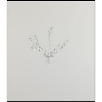 Print - Shepherds Purse 2; Nourishment