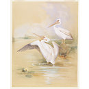 A pair of White Pelicans (Watercolour)