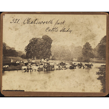 Photograph - Chatsworth Park.  Cattle Study