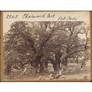Chatsworth Park.  &quot;Oak Study&quot; (Photograph)