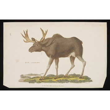 Print - Elk