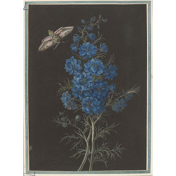 Drawings - A delphinium and a moth, bodycolour on black prepared paper