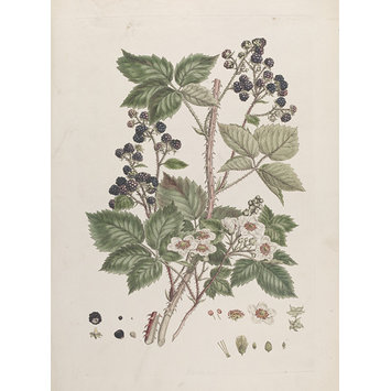 Print - Rubus rosaceae Weihe; Blackberry; Illustration of the Sexual System of Linnaeus