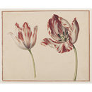 Tulips (Watercolour)