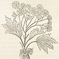 Jane Loudon (1807-1858), 'Botany for Ladies'
