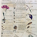 Georg Dionysius Ehret, page from the book 'Plantae et Papiliones Rariores'