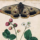 Jacques Le Moyne De Morgues, Wild Strawberry and Female Emperor Moth