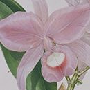 Samuel Holden, Walker's Cattleya