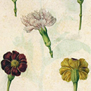 Jacques Le Moyne De Morgues, Three Pinks and Two Marigolds
