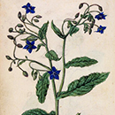Jacques Le Moyne De Morgues, Borage