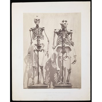 Photograph - Skeleton of Man and of the Male Gorilla (Troglodytes Gorilla)