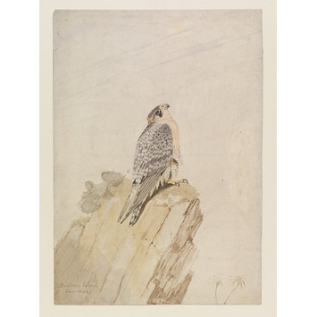 Watercolour - Barbary Falcon - Adult male