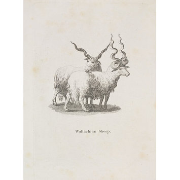 Print - Wallachian Sheep