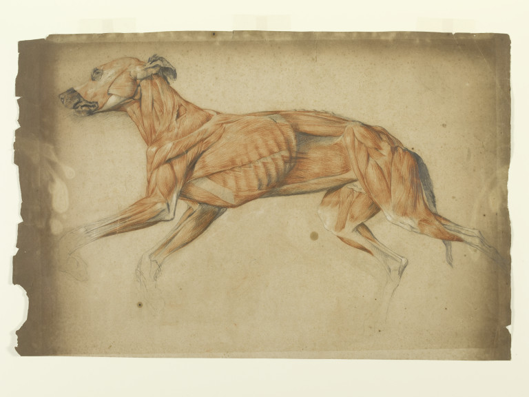 Ecorche Drawing Of A Greyhound Landseer Edwin Henry
