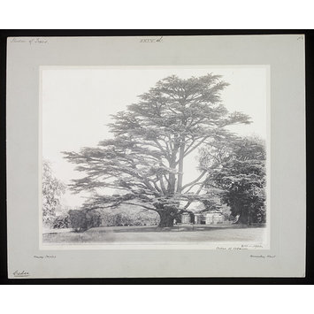 Photograph - Cedar of Lebanon