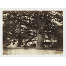 Study of an Oak Tree (Bas-Breau, Forest of Fontainebleau) (Photograph)