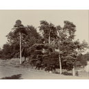 View of trees near Eeswyke, Near Sawrey (photograph)